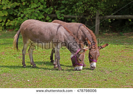 Equus Africanus Asinus Stock Photos, Royalty.