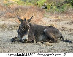 Equus africanus asinus Stock Photos and Images. 269 equus.