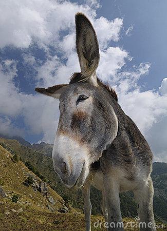 Funny Donkey, Equus Africanus Asinus Stock Images.