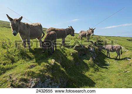 Stock Image of Donkeys (Equus africanus asinus) on Great Blasket.