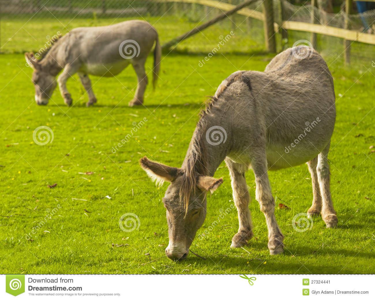Donkey ( Equus Africanus Asinus ) Stock Image.
