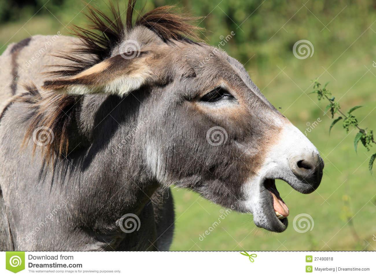 Equus Africanus Asinus Royalty Free Stock Photos.