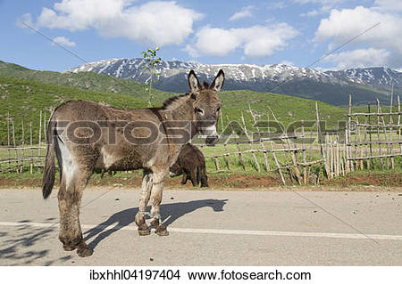 Stock Photo of Donkey (Equus africanus asinus) with forelegs tied.