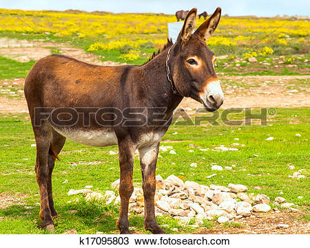 Stock Photo of Donkey Farm Animal brown color standing on field.