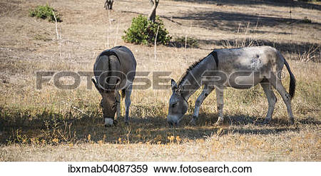 Stock Photograph of Two donkeys (Equus africanus asinus) grazing.