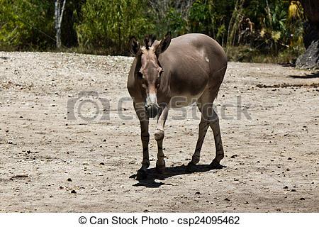 Stock Image of Sommali Wild Ass.