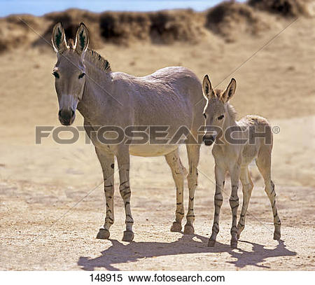 Stock Image of Somali Wild Ass with foal.