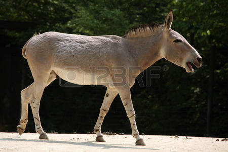 Wild Asses Stock Photos Images. Royalty Free Wild Asses Images And.