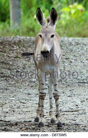 Wild Ass Stock Photos & Wild Ass Stock Images.