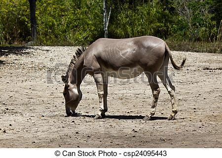 Stock Photo of Sommali Wild Ass.