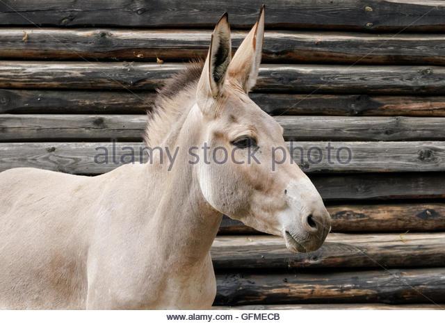 African Wild Donkey Stock Photos & African Wild Donkey Stock.