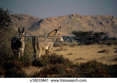 Stock Photography of Somali wild ass (Equus africanus somaliensis.