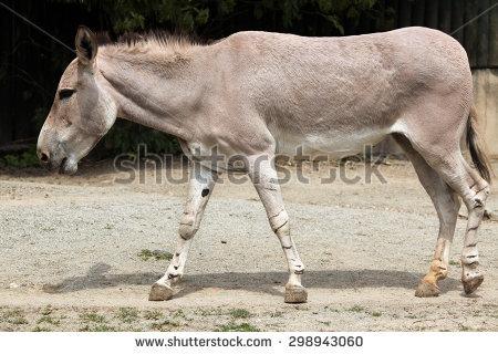 Somali Wild Ass (Equus Africanus Somaliensis). Wildlife Animal.