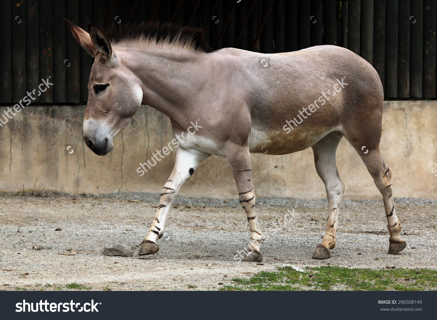Somali Wild Ass (Equus Africanus Somaliensis). Wildlife Animal.