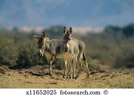 Somali wild ass Stock Photos and Images. 29 somali wild ass.