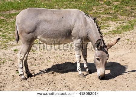 Equus Africanus Stock Photos, Royalty.