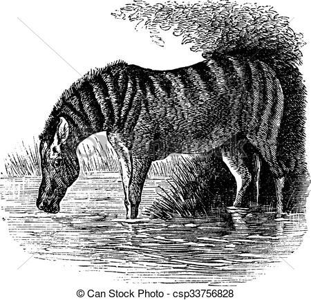 Vector Illustration of Donkey or Equus asinus vintage engraving.