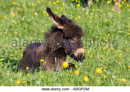 Equus Asinus Stock Photos & Equus Asinus Stock Images.