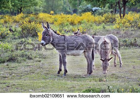 "Stock Photography of ""Domestic Donkeys (Equus asinus asinus."