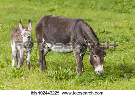 """Stock Image of """"Donkey (Equus asinus asinus), mare and foal."""