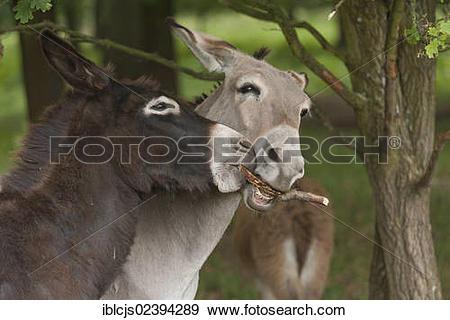 "Stock Photograph of ""Young Domestic Donkeys (Equus asinus asinus."