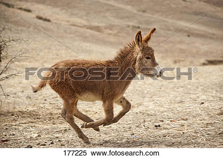 Stock Image of Domestic Donkey (Equus asinus asinus) galloping in.