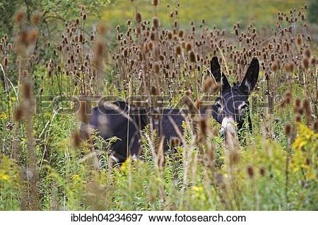 Picture of Hungarian Parlag donkey (Equus asinus asinus) amongst.