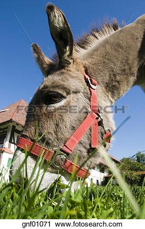 Stock Photography of Portrait of donkey (Equus asinus asinus.