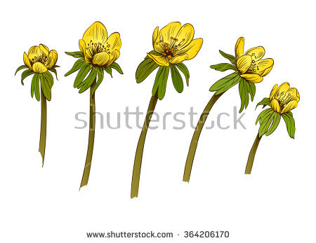 Eranthis Stock Photos, Royalty.