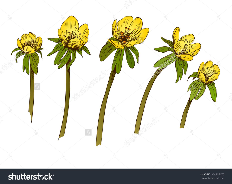 Eranthis Flowers Set. Hand Drawn Vector Illustration.