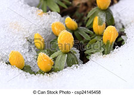 Stock Images of Winter Aconite, lat. Eranthis hyemalis in snow.
