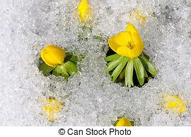 Stock Image of Winter Aconite, lat. Eranthis hyemalis in snow.