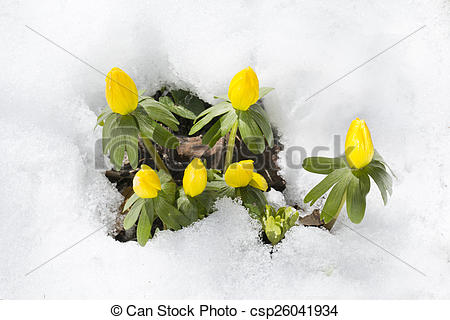 Stock Photos of flowers Eranthis hyemalis one of first spring west.