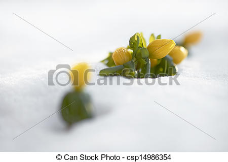 Stock Images of Winter aconite (Eranthis hyemalis) popping up from.