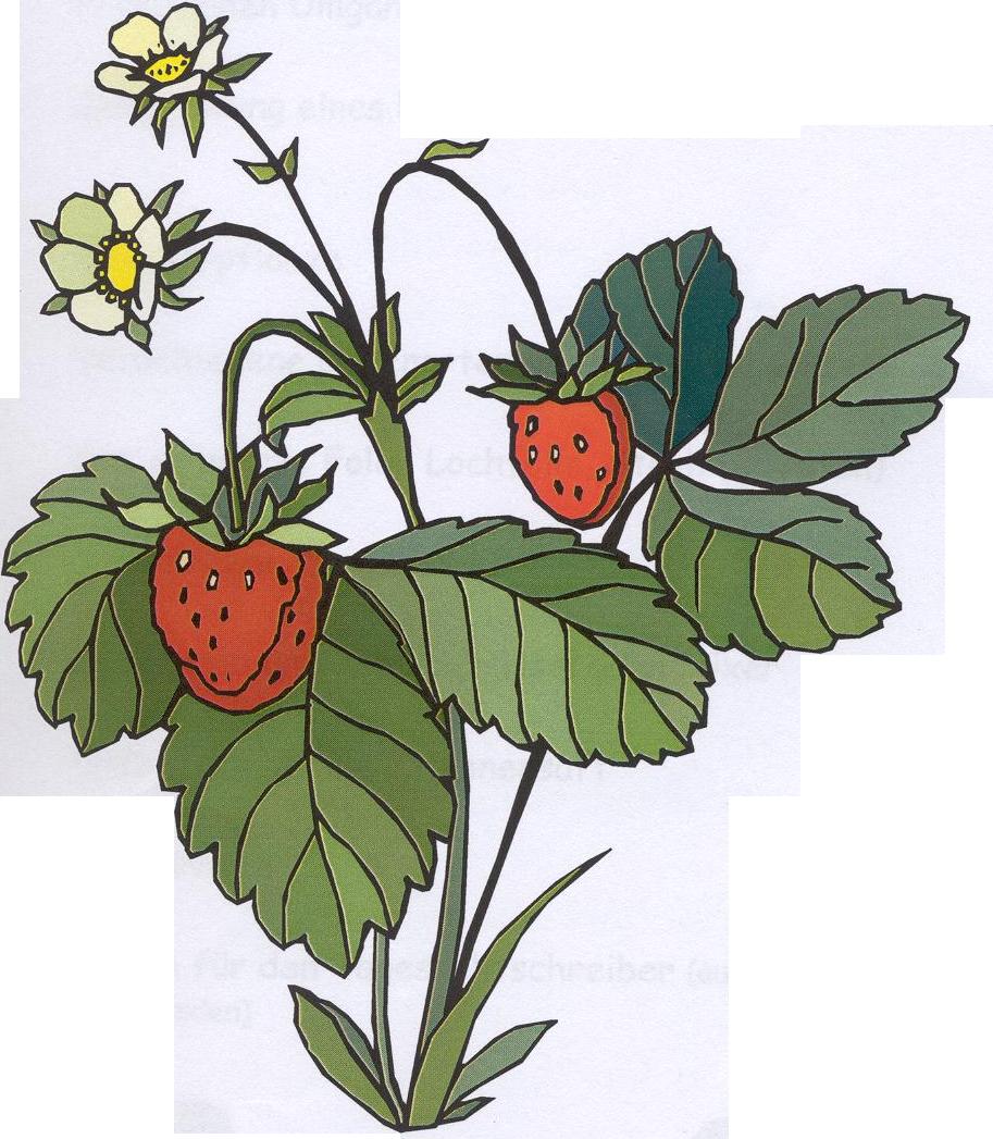 Strawberry bush stock vector. Illustration of graphic ...