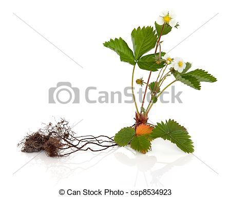 Stock Fotos von wild, erdbeer, Pflanze, mit, Wurzel, Freigestellt.