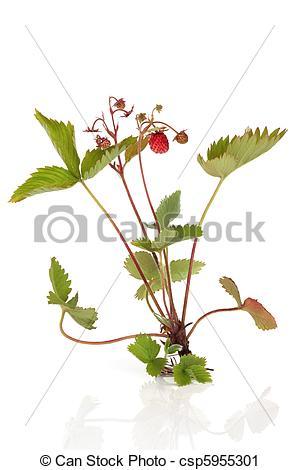 Stock Fotografie von wild, erdbeer, Pflanze, Lager, Fruechte, und.