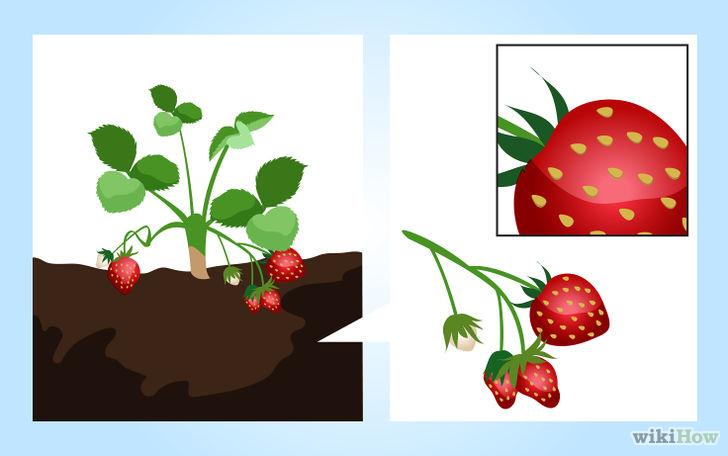 Selbst gepflanzte Erdbeeren sind die Mühe wert.