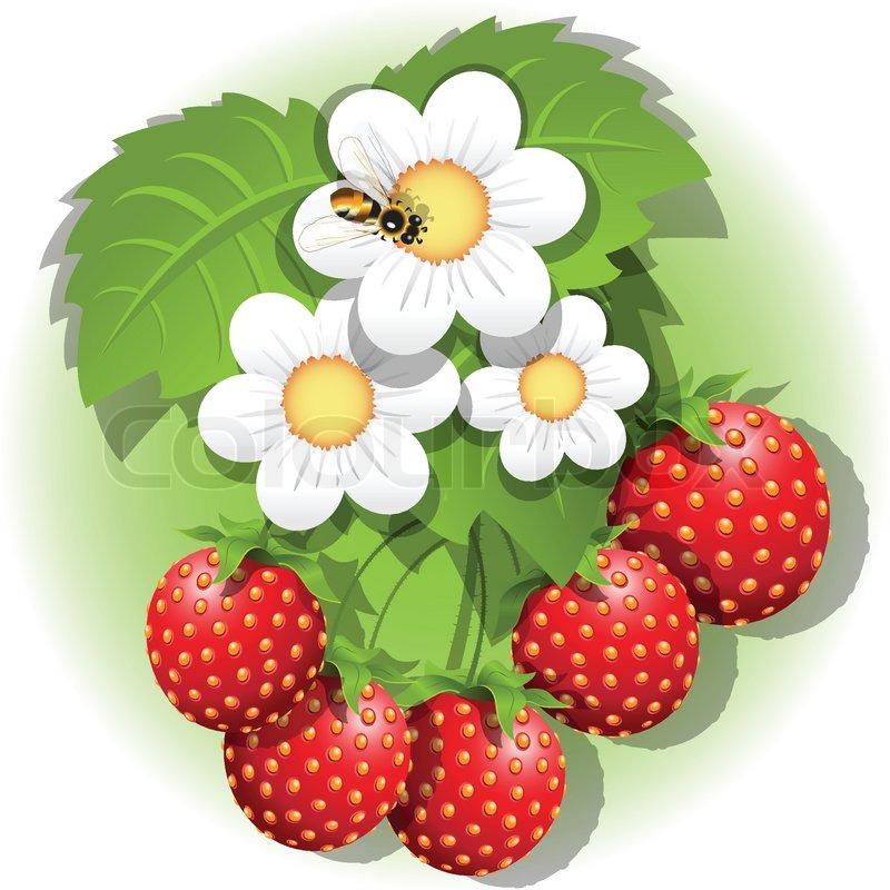 Erdbeerpflanze.