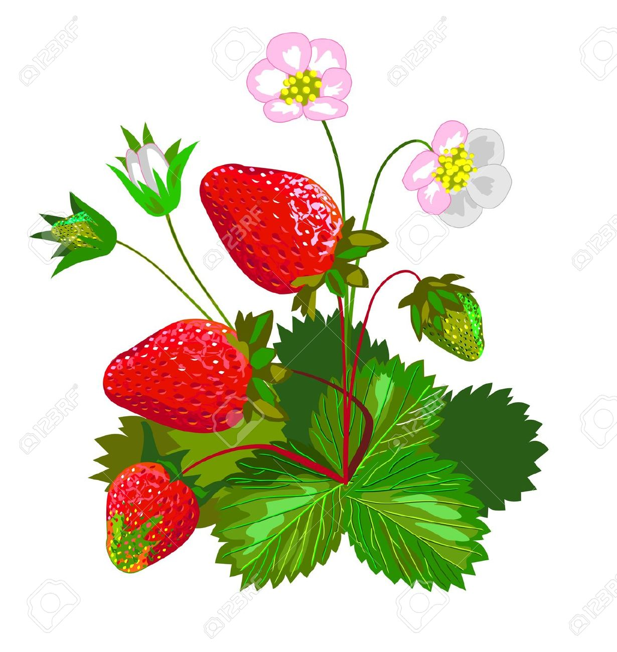 Strawberry With Flowers Royalty Free Cliparts, Vectors, And Stock.