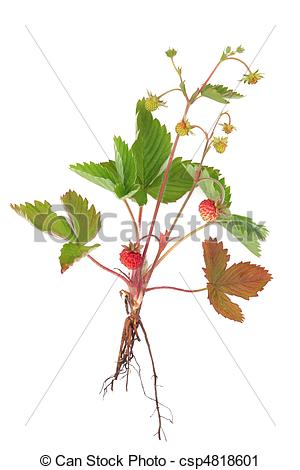 Stock Fotografie von wild, erdbeer, Pflanze, mit, Fruechte, und.