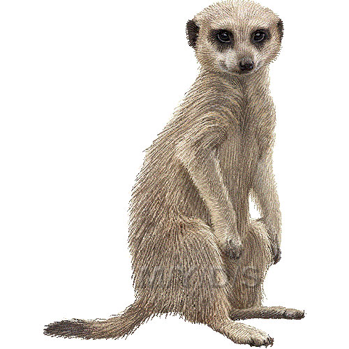 Meerkat, Suricate clipart graphics (Free clip art.