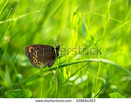 Ringlet Butterfly Stock Photos, Royalty.