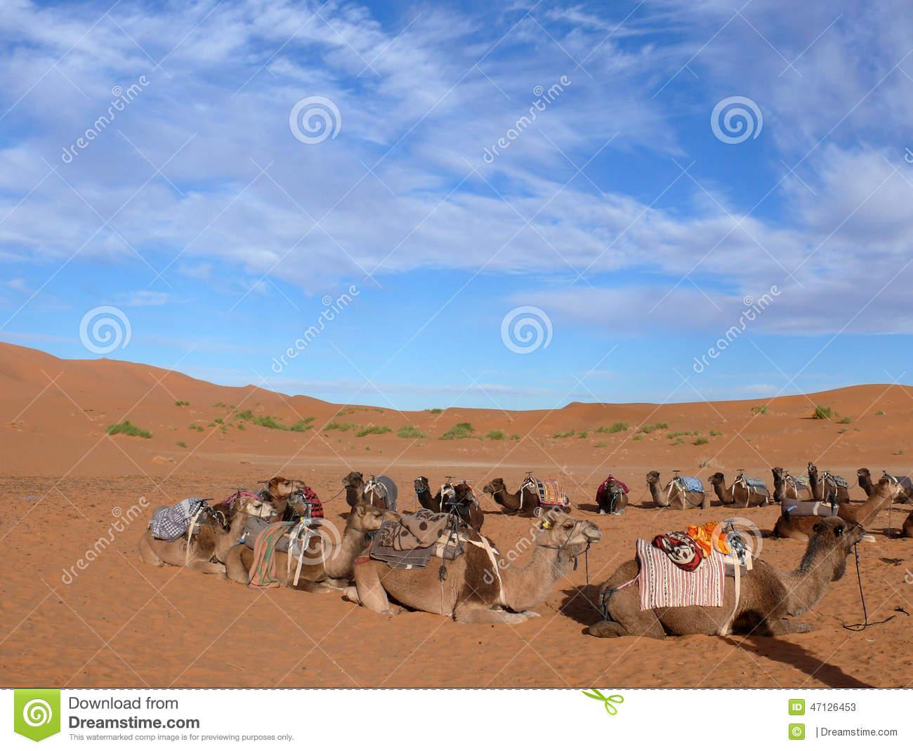 Circle Of Camels In Erg Chebbi Sahara Desert Stock Photo.