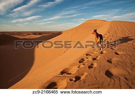 Stock Image of Dog on Sahara desert sand dunes, Erg Lihoudi, MÂ.