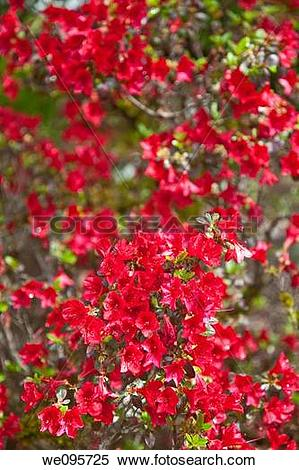Stock Image of Rhododendron is a genus of flowering plants in the.