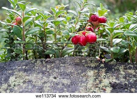 Stock Photo of Lingonberry Vaccinium vitis.