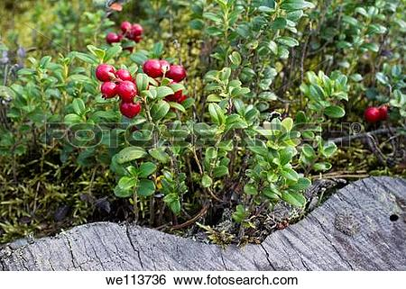 Stock Images of Lingonberry Vaccinium vitis.