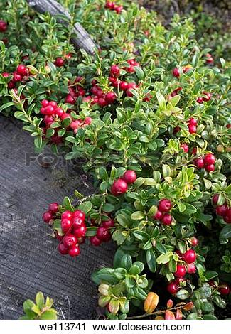 Stock Photography of Lingonberry Vaccinium vitis.