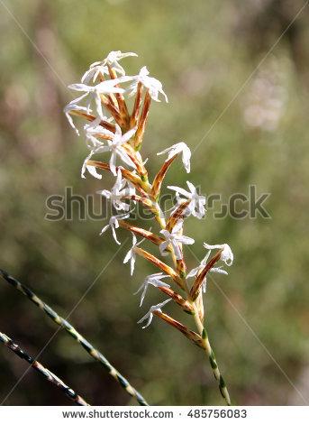 Ericaceae Stock Photos, Royalty.